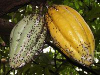 Dolichoderus-Ameisen mit Schmierläusen (Pseodococcus) auf einer Kakaofrucht. Bild: Universität Göttingen (idw)