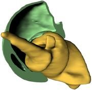 Wie Schraube und Mutter passen die beiden Teile des Hüftgelenkes des Rüsselkäfers zusammen. Dadurch erhöht sich die Beweglichkeit des Beines. (Bild: KIT)