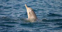 """Bleifarbener Delfin mit der aufälligen """"tattoo skin disease"""". Foto: Brett Atkins"""