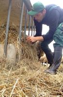 Landwirt versorgt Vieh im Stall, Deutschland