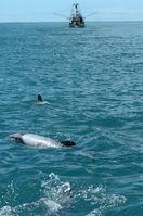 Hector- und Maui-Delfine leben in flachen Küstengewässern. Schleppnetz- und Kiemennetzfischerei ist die größte Gefahr für das Überleben der seltenen Art. Foto: Steve Dawson/NABU International