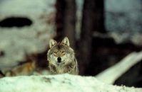 Wolf im Schnee Foto: NABU/H. Pollin