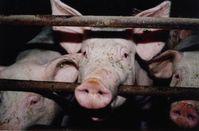 Schweine leiden in der konventionellen Intensivmast. Bild:  © VIER PFOTEN