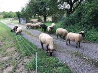 Schafe auf dem Radweg