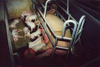 Das Mutterschwein kann sich im Kastenstand kaum bewegen. Bild: VIER PFOTEN