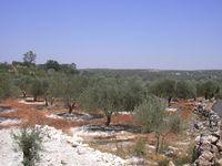 Ein Olivenhain in der Nähe von Idlib