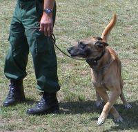 Diensthund, der augenscheinlich ein Telereizgerät trägt
