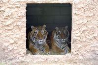 Die hessischen Tiger haben sich im LIONSROCK gut eingelebt Bild: (c) VIER PFOTEN, Mihai Vasile