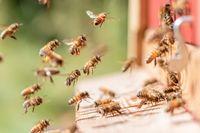 """Honigbienen vor dem Flugloch ihres Bienenstocks. Bild: """"obs/Aurelia Stiftung/Florian Zimmer-Amrhein"""""""