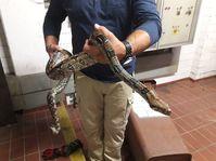 Die Boa wurde von einem Schlangenexperten übernommen