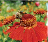 """Eine wundervolle Wechselbeziehung: Bienen sorgen mit ihrer Bestäubungsarbeit für Pflanzenvielfalt und erhalten im Gegenzug Nektar und Pollen.  Bild: """"obs/Deutscher Imkerbund e. V./Erhard Maehnert"""""""