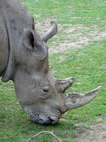 Kopf eines Breitmaulnashorns. Bild: de.wikipedia.org