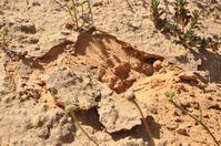 Wüstenbiologische Sandkrusten aus dem Nizzana-Gebiet in der rauen Negev-Wüste, von wo die Alge Chlorella ohadii stammt.