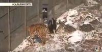 "Bild: Screenshot Youtube Video ""Amur tiger and goat Timur became more than friends"""