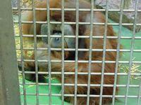 Unschuldig eingesperrt: Menschenaffen in Zoos. Bild: © PETA
