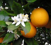 Früchte, Blüten und Blätter der Orange