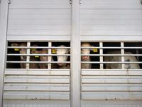 Kontrollierter Tiertransport: Kälber, die zu einem Mastbetrieb transportiert werden. Tierschutzrechtlich war alles in Ordnung.