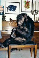 In Wirklichkeit wurde die Rolle von mehreren Schimpansen gespielt. Je nach zu drehender Aufgabe im Film wurde ein anderer Affe, der die entsprechende Fertigkeit besaß, eingesetzt. Einer der falschen Cheetas. Bild: Burroughs1969 at de.wikipedia