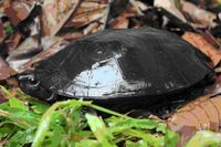 """Die Dickhalsschildkröte (Siebenrockiella crassicollis), von der International Union for Conservation of Nature (IUCN) als """"gefährdet"""" kategorisiert, wird durch den Klimawandel maßgeblich in ihrem heutigen Verbreitungsgebiet beeinträchtigt. In mehr als ¾ des als geeignet eingestuften Habitats werden Klimabedingungen auftreten denen sie heute nicht ausgesetzt ist. Quelle: Foto: F. Ihlow (idw)"""