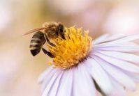 Biene: Profi der molekularen Kommunikation. Bild: pixelio.de/Radka Schöne