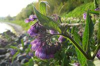 Im Mai beginnt die Blütezeit des auch in Schleswig-Holstein häufig vorkommenden Beinwells (Symphytum officinale). Quelle: Foto: Dietrich Ober (idw)