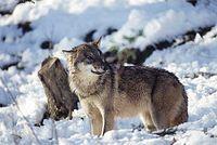 Wolf © Anton Vorauer / WWF