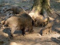 Bache mit Frischlingen und vorjährigem Weibchen (Symbolbild)