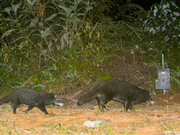 Otterzivette © Andreas Wilting und Azlan Mohamed / Sabah Wildlife Department, Sabah Forestry Department