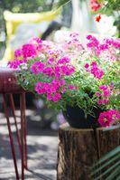 """Pinke Verbenen sorgen für Gute Laune auf dem Sommerbalkon.  / Bild: """"obs/Blumenbüro/Pflanzenfreude.de"""""""