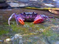 Eine farbenfrohe Neuentdeckung: Krabbe Insulamon palawanense von der Insel Palawan Quelle: © Senckenberg (idw)