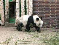 """Großer Panda """"Bao Bao"""" im Zoologischen Garten Berlin"""