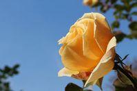 Rose: Forscher integrieren Elektronik. Bild: pixelio.de/Wolfgang Dirscherl