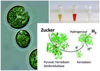 Die einzellige Grünalge Chlamydomonas kann nicht nur mittels Sonnenenergie H2 produzieren, sondern auch im Dunkeln. Die RUB-Forscher deckten die Kombination der verantwortlichen Proteine auf. Quelle: Bild: AG Photobiotechnologie, RUB (idw)