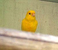 Gelber Kanarienvogel Bild: Fir0002 / de.wikipedia.org