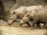 Sumatra-Nashörner Bild: Charles W. Hardin / wikipedia.org