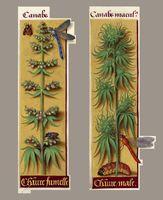 Hanf (Cannabis sativa) im Stundenbuch der Anne von Bretagne