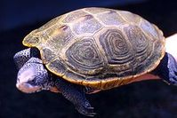 Ausgewachsenes Weibchen der Diamantschildkröte. Bild: de.wikipedia.org