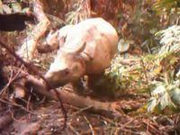 Die Nashorn-Mütter mit ihren Kälbern wurden im Ujung Kulon Nationalpark im Südwesten der indonesischen Insel Java entdeckt. Bild: WWF-Indonesia / Balai Tnuk