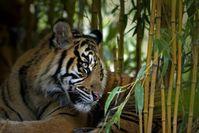Sumatra-Tiger Bild: Thomas Herzog