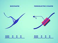 Natürliche und ferroelektrische Synapse.