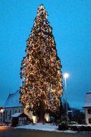 """Der """"wahrscheinlich größte lebende Weihnachtsbaum 2017 in Deutschland"""" in Rheinfelden-Eichsel"""