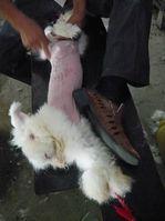 Schmerzhafter Lebendrupf bei Angorakaninchen in China. Bild: © PETA Asia Pacific