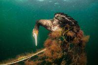 Geisternetze sind für Meerestiere oft tödliche Fallen - und auch Tiere nah an der Wasseroberfläche wie der Kormoran sind betroffen. Bild: ZDF Fotograf: Wolf Wichmann