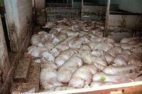 Ein gewöhnlicher Schweinemastbetrieb: Perfektionierte Folterung von Lebewesen... (Symbolbild)