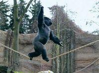 Silberrücken Kidogo bei seinem Seiltanz im Zoo Krefeld