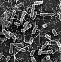 Salmonellen: Bakterien verursachen Infektionen.