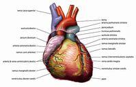 Die Anatomie des Herzens Bild: de.wikipedia.org