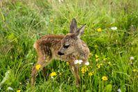 Die Frühjahrs-Diät lockt Rehe an die Landstraße - Deutsche Wildtier Stiftung: Junge Böcke und schwangere Ricken sind wild auf Salz und gefährden