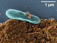 Elektronenmikroskopische Aufnahme des Bakte-riums Shewanella oneidensis MR-1. Dieses Bak-terium ist in der Lage, Eisenminerale und feste Huminstoffe als Elektronenakzeptor zur Atmung zu verwenden. Bild: Sebastian Schädler und Andreas Kappler