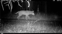 Wolf in der Fotofalle © WWF